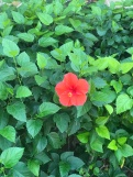 There was one lone flower on this bush and I took a picture of it
